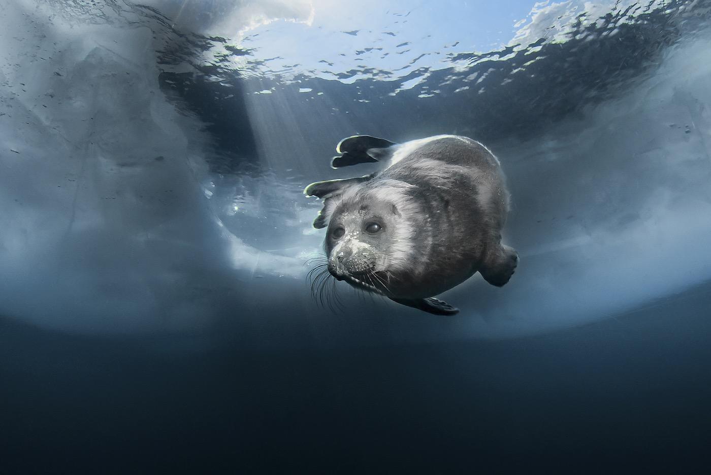 Young Baikal seal (Pusa sibirica) at breathing hole. Credit: bioGraphic.