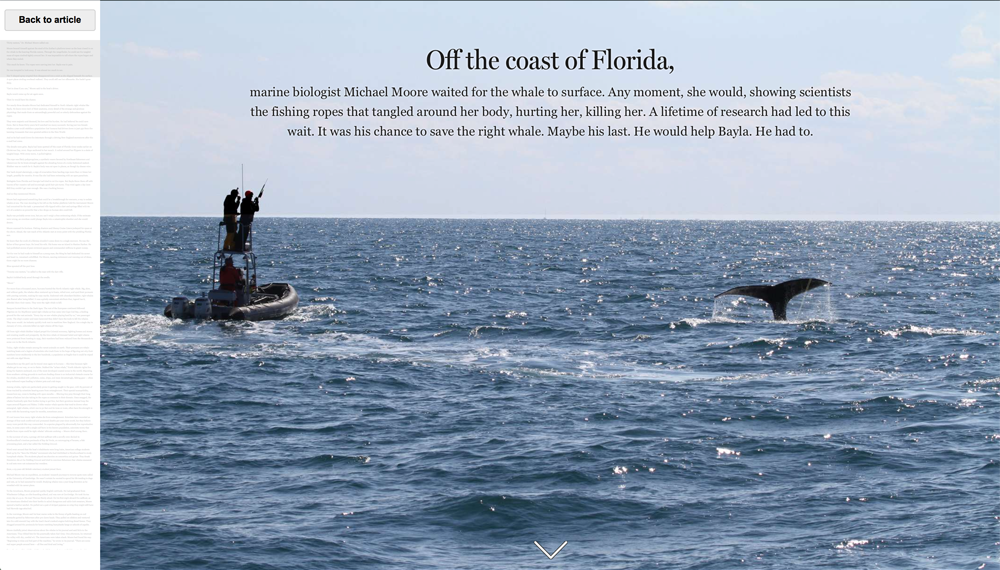 Chasing Bayla, an interactive story about the quest of a science to save a whale, had two different tabs: one for the written article, one for the visual story (Credit: The Boston Globe)